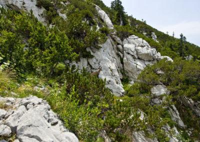 Zerge a fenyők között, Sjeverni Velebit National Park