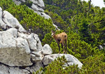 A zerge visszanéz, Sjeverni Velebit National Park