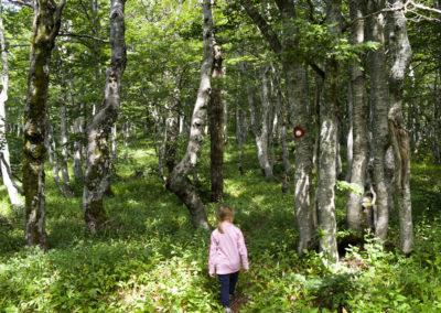 Csavart törzsű bükkök között vezet az út, Sjeverni Velebit National Park